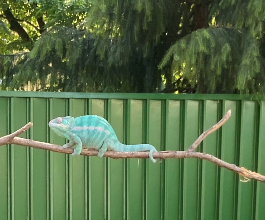 Kameleon- nasz ulubiony